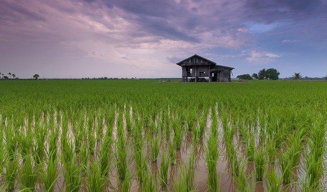 pertanian padi